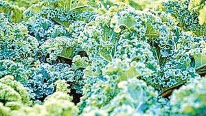 Grünkohl ist lecker und überaus gesund
