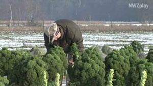 Grünkohl-Ernte auf dem Eytje-Hof