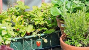 Tipps zum Anbau von Erdbeeren im Beet und Kübel