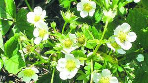 Während der Blütezeit: Erdbeeren brauchen besondere Pflege