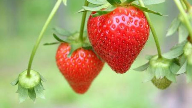 Die eigene Erdbeer-Zucht: Sechs Fakten für Hobbygärtner