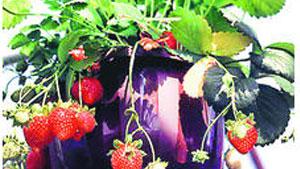 Auch Erdbeeren können klettern