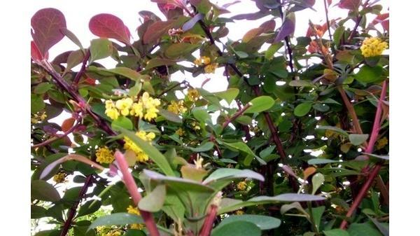 Farbenprächtiger Gartenstrauch