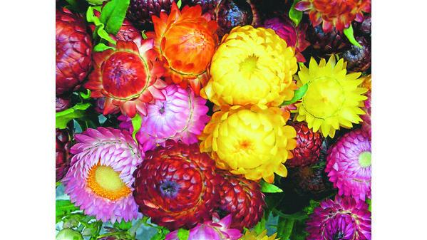 Strohblumen Trocknen trockensträuße strohblumen sorgen im winter für farbe