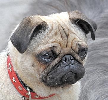 "Hunde: ""Plattnasen"" sind ganz groß in Mode"