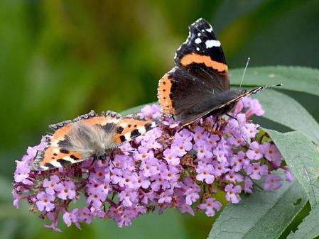Zu viel Mais lässt die Schmetterlinge aussterben