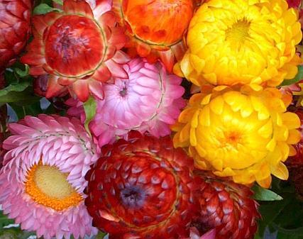Strohblumen Trocknen strohblumen klassiker