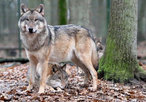 Wie Groß Ist Ein Wolf