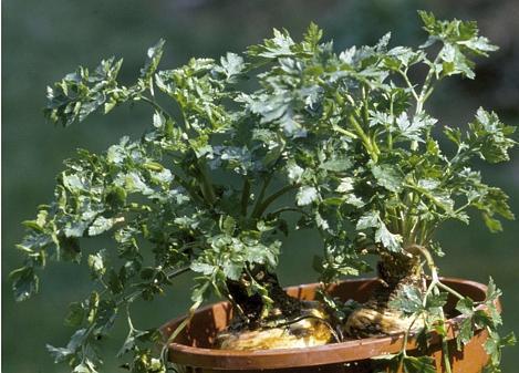 Lieblings Petersilienwurzel: Frisches Grün sorgt für richtige Würze #QB_11