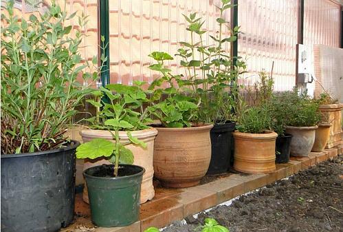 pflegetipp saison der k belpflanzen geht zu ende. Black Bedroom Furniture Sets. Home Design Ideas