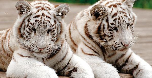 Tier Und Freizeitpark Thüle Weiße Tiger Mit Starpotenzial