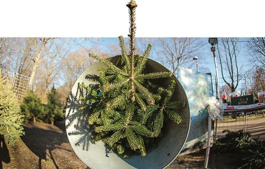 Weihnachtsbaum Ab Wann.Weihnachtsbäume Verkauf Ab 11 November