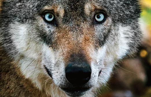 Jetzt Bestätigt Zetel Wolf War Auch In Der Friesischen Wehde
