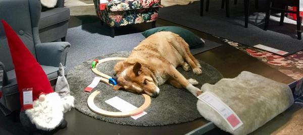 Offene Tür Für Straßenhunde Ikea In Italien Wärmt Nicht Nur Hot