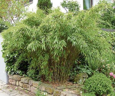Gräser: Bambus sorgt für exotisches Flair