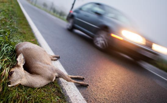 Wildunfälle Im Oldenburger Land Wenn Plötzlich Ein Reh Vors Auto