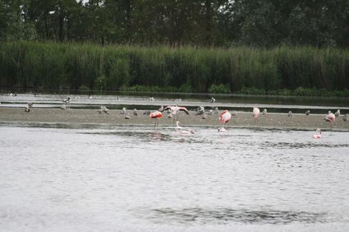 Zwölf Flamingos zu Gast in Dangast