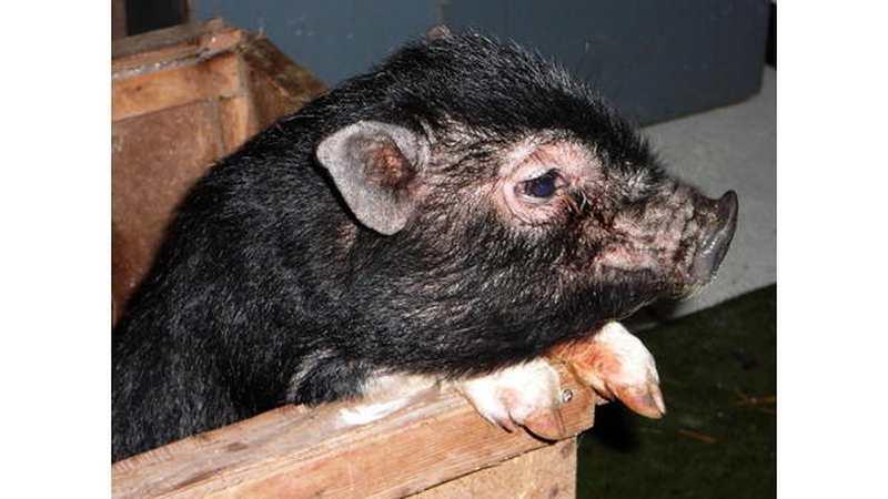 Schweinische Filme