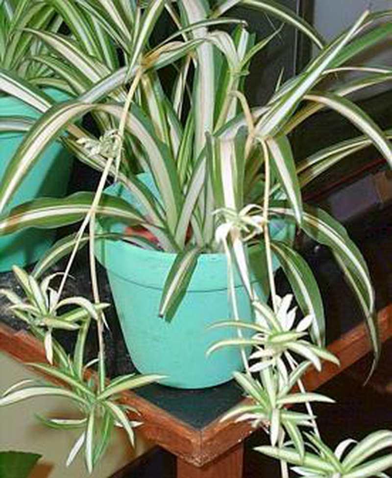 Zimmerpflanzen I Grunlilien Sind Anspruchslos