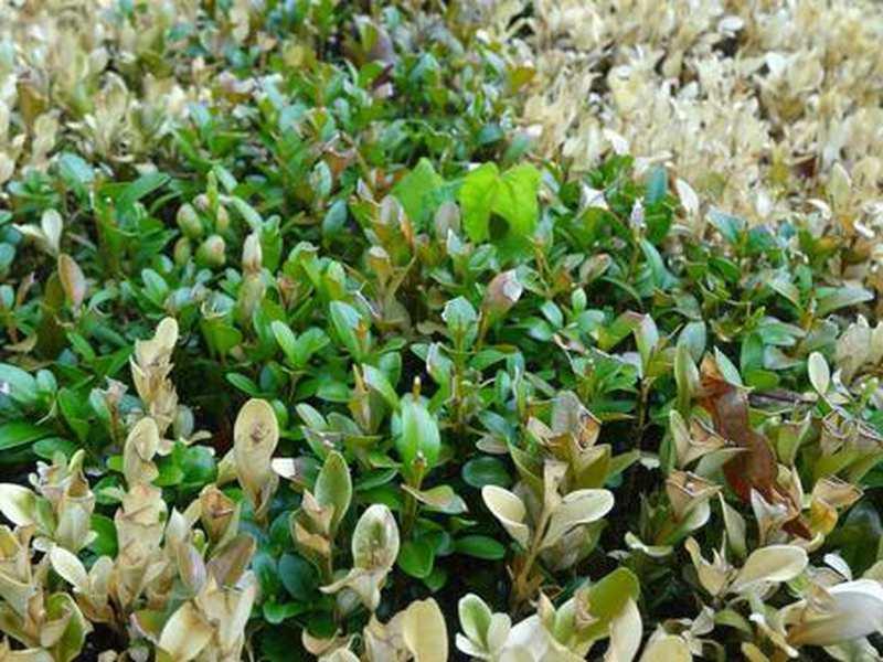 beliebte pflanze pflanzzeit im herbst nutzen alternativen f r den buchsbaum. Black Bedroom Furniture Sets. Home Design Ideas