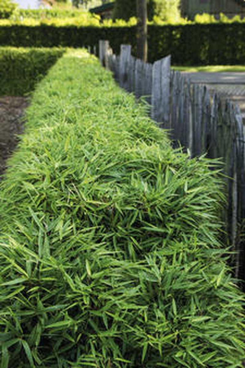 Sichtschutz Immergrune Bambushecke