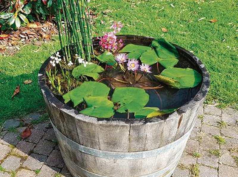 wasserpflanzen seerosen bl ten bezaubern im miniteich. Black Bedroom Furniture Sets. Home Design Ideas